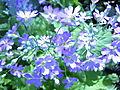 Mums flowers-1