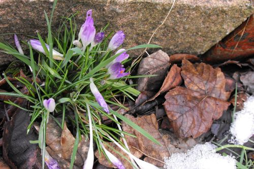14 feb crocus